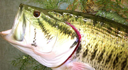 fish reproduction largemouth bass