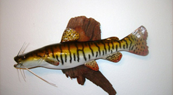 fiberglass fish reproduction of South American Catfish