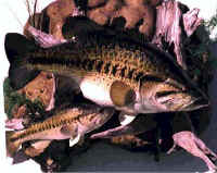 spawning largemouth bass replica